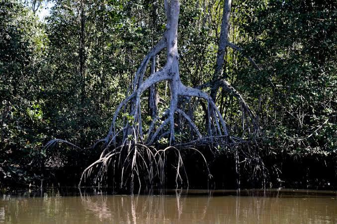Estudos recentes mostram que os manguezais estão passando por processos acelerados de degradação, devido principalmente às mudanças climáticas e crescimento urbano